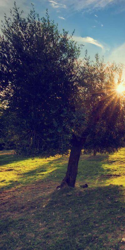 Dellagrazia Olive Oil trees